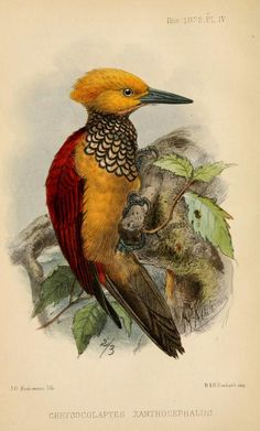 Yellow-faced flameback, Ibis (quarterly journal of the British Ornithologists' Union), Series III, Vol. II, 1872.