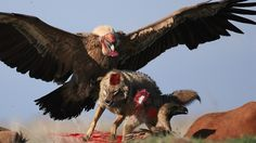 Eagle Catching Prey|Eagle Eating Prey | Wild Eagles Hunting