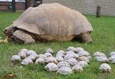 30 yr old Sulcata giant Tortoise with her 45 Hatchlings