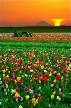 The tulips at Woodburn, Oregon