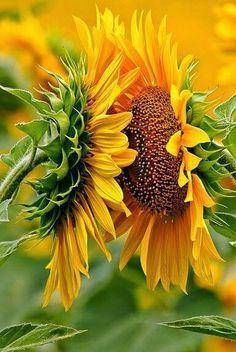 King in flower thta's SUNFLOWER - http://www.nepalartshop.com