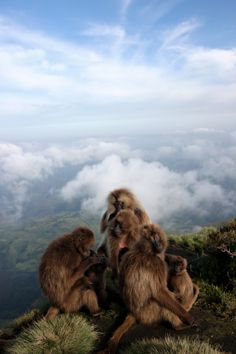 Gelada Baboons in Simien Mountains National Park, Ethiopia