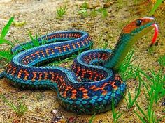 that is a Regal Ringneck Snake. very beautiful, however personally find these guys a bit cooler, i present to you the California Red Sided Garter Snake.
