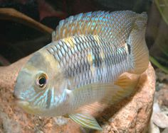Aequidens metae, also known as the Yellow Acara, is a very attractive species that originates within still to slow moving waters in South America. Description from aquariumdomain.com. I searched for this on bing.com/images