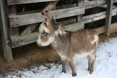 An adult donkey with a child's body. Minature Donkey, Pet Donkey, Mini Donkey, Mini Pigs, Cute Baby Animals, Farm Animals, Animals And Pets, Funny Animals, Wild Animals