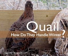 GardenUpgreen: Quail in the Winter - find out how quail handle winter with a few simple tips.