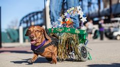 A dachshund hound dressed for Mardi Gras marches in the 15th Annual Krewe of Barkus and Meoux Pet Parade, an annual Mardi Gras event held in downtown Shreveport's RiverView Park. For more information on the Krewe of Barkus and Meoux Pet Parade, visit www.animalkrewe.org.