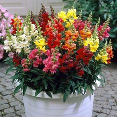 Shop Antirrhinum Liberty Mix at J Parkers. A stunning rainbow collection of Snapdragon Flowers, Long lasting vibrant colours. Buy UK Plug Plants online now. Flower Seeds, Flower Pots, Snapdragon Flowers, Antirrhinum, Herb Seeds, Hardy Plants, Plants Online, Container Flowers, Types Of Soil