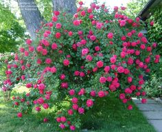 Shrub Rose 'Alexander Mackenzie' Rosa ~ very hardy Explorer rose~ no winter protection needed in zone This would look cute in the front yard! Colorado Landscaping, Front Yard Landscaping, Garden Shrubs, Garden Plants, Ronsard Rose, Rose Garden Design, Types Of Roses, Gardening Zones, Shrub Roses