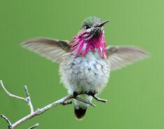 hummingbird   Birding Thursday: Calliope Hummingbird