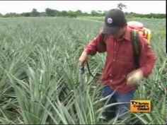 El Cultivo de la Guayaba 2 - YouTube