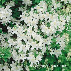 Azalea 'Palestrina' - Green Gift
