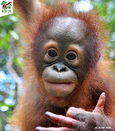 Baby Orangutan, Orangutans, Beautiful Creatures, Animals Beautiful, Baby Animals, Wild Animals, Monkey Business, Primates, Cute Funny Animals