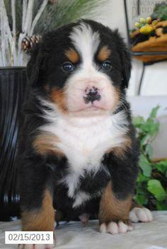 Willie - Bernese Mountain Dog Puppy
