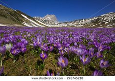 Plateau of Campo Imperatore with violet crocus flowering - Gran Sasso d'Italia, Abruzzo, Italy. #Abruzzo #Crocus #CampoImperatore #GranSasso #Violet #Landscaoe #Park #Nature #Spring #Mountains #Vacation #Trekking #ElisaBistocchi
