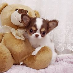 Adorable Amazing Lil Miss America ~ Micro Teacup Tiny LC Chocolate Tri Chi Available!