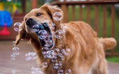 Pies, Golden retriever, Bańki, Zabawa
