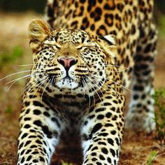 S and C Travel Offers safari and Cape Town as a twin centre option to South Africa South Africa Honeymoon, South Africa Tours, Cat Drinking, Garden Route, Game Reserve, Wildlife Nature, African Safari, Africa Travel, Conservation
