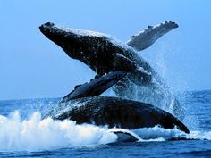 Travel to Puerto Madryn in Argentina Check your at in , You can see the . Different are waiting for You! See more in link. Orcas, Patagonia, Alaska Tours, Whale Watching Season, Ecuador, Underwater Animals, Mundo Animal, Blue Whale, Humpback Whale