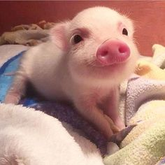 i would never get a pig, and usually never think they're cute, but look at his little face!
