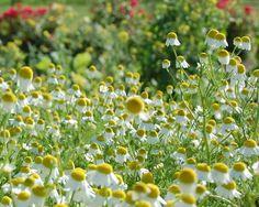 La Planta de la Manzanilla   Sus características - Manzanilla10.Com