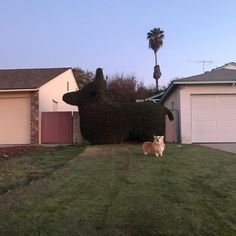 Dog named Luna becomes viral sensation by posing triumphantly next to a hedge that looks just like her.