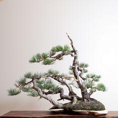 Pinus ponderosa bonsai by Ryan NeilMore Pins Like This At FOSTERGINGER @ Pinterest☝✋