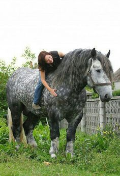 dapple grey percheron my dream horse