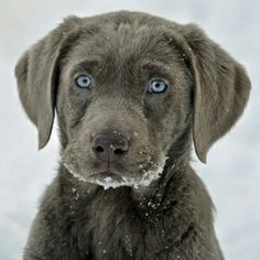 Silver Labrador Retriever Puppy <3 by eugenia
