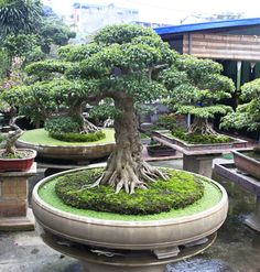 Bonsai - for the round table in the foyer of my home