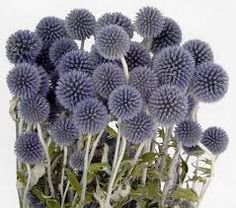 Image result for Echinops