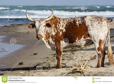 Photo about Nguni Bull on the beach in Transkei - Wild Coast South Africa. Image of looking, male, speckled - 59866058 Cow Pictures, Cow Painting, Cows, Figurative Art, Cattle, Art Drawings, Stock Photos, South Africa, South Beach