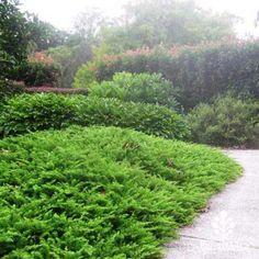 Juniper All Gold Australian Plants Online Seaside Garden, Erosion Control, Australian Plants, New Roots, Plants Online, Water Well, Organic Matter, Types Of Soil, Mediterranean Style