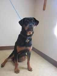 RILEY is an adoptable Rottweiler Dog in Bowling Green, OH.  ...