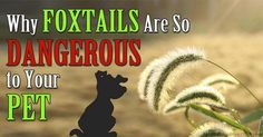 Some varieties of foxtails, such as foxtail barley, have spikes that are harmful to your dog's body. healthypets.merco...