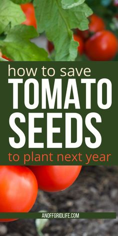 These few steps will help you save tomato seeds from your best plants for next year. #tomatoseeds #tomatoseedstarting #tomatoseedsfromtomatoes #growingtomatoes