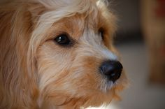 Rocho - Cavapoo - 5 months old
