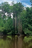 En árboles de mangle rojo, de gran talla, las raíces adventicias crecen desde las ramas más altas