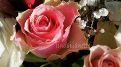 Bilderesultat for vakre roser