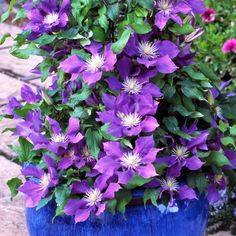 Clematis Plants, Potted Plants, Sutton Seeds, Small Purple Flowers, Clematis Montana, Garden Projects, Garden Ideas, Planting Seeds, Small Gardens