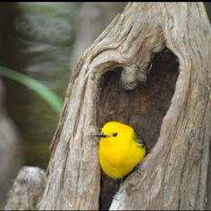 Prothonotary warbler from national Audubon society's Facebook page