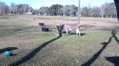 Mini Donkeys grazing from Hay Pillow slow feeder hay bag Hay Feeder, Slow Feeder, Mini Donkey, Donkeys, Pillows, Bag, Cushion, Donkey, Cushions
