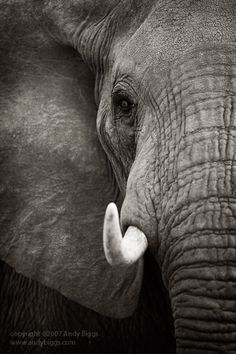 Black and white fine art photo of an elephant in Africa by Andy Biggs