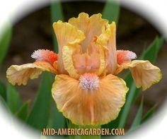 SDB Iris germanica 'Orange Obsession' (Black, 2014)