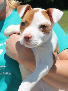 Meet Dani 20288 a Petfinder adoptable American Bulldog Dog | Prattville, AL | Dani is a 10-week-old female American Bulldog mix. This little beauty is white with brown marking...