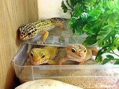 Leopard gecko ladies at Northampton Reptile Centre