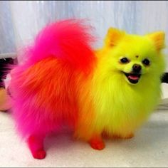 Diamond's Colored Hair. Is it safe to color your Pomeranians hair? Find out here: http://pommymommy.com/lets-get-down-to-the-bottom-of-this-is-it-safe-to-color-your-pomeranians-hair/#