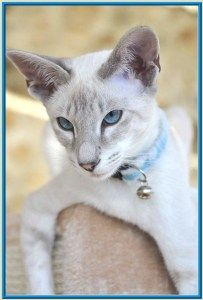 Siamese Cats Uk Breeders Siamese Cats Blue Point Siamese Cats