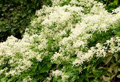 GardenSmart :: ARTICLES :: Ready. Set. Plant!  Sweet Autumn clematis  Clematis paniculata This native of Japan sprawls in an unmannerly fashion over whatever support you provide. In late summer to early fall, it explodes in a billowy white mass of quarter sized white blooms.  While the plant loves a sun to part shade location, the roots do best if shaded by a low growing groundcover or a blanket of leaves or wood chips. (Zones 4-9)