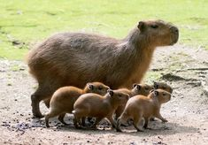 "Capybara mom & her pups at Zoo Berlin ""Native to South America, the Capybara is classified as the largest rodent in the world."""